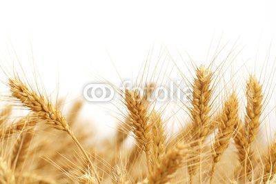 Fototapeta Wheat