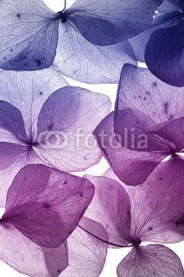 Fototapeta colorful flower petal closeup