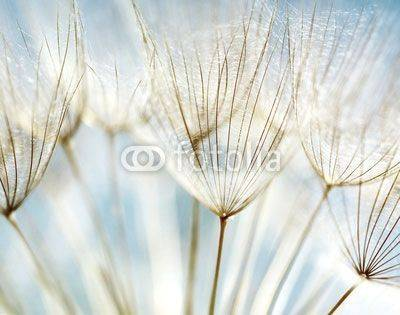 Fototapeta Abstract dandelion flower background